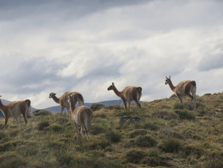 A herd of guanacos meander by. photo by Russ Wagner